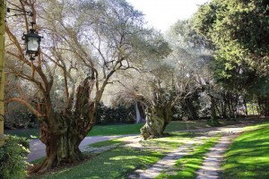 El passeig de les oliveres, amb més de 50 anys d'antiguitat. Fotografia de Juan Pablo Torrents-Faura