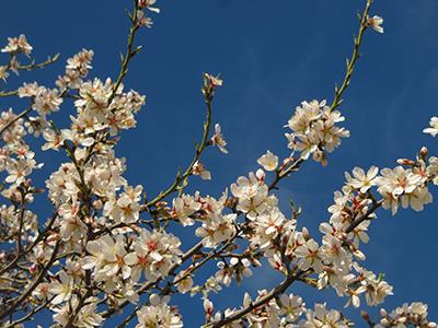 L'ametller florit. Fotografia de M. Josep Tort