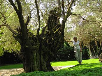 Una de les oliveres centenàries.
