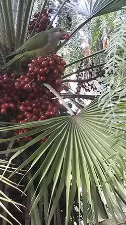 Cotorra menjant fruits del margalló. A la imatge destacada, vista general amb margallons, dues washingtònies i una palmera datilera. Fotografies de M. Josep Tort