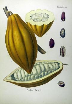 Fruit del cacau. Franz Eugen Köhler, Köhler's Medizinal-Pflanzen (1897). (C)Guy Ackermans 2005