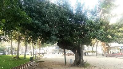 El garrofer del parc del doctor Castelló. A la imatge destacada, acàcia i àrea de jocs dels jardins Samuel Hanhemann. Fotografies de M. Josep Tort