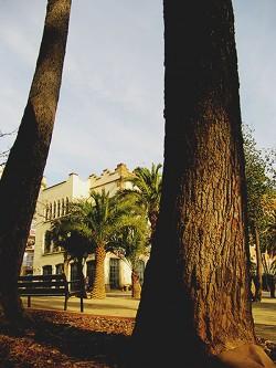 Troncs de pins blancs. Fotografia de M. Josep Tort