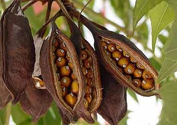 Fruits de Brachychiton populneum.