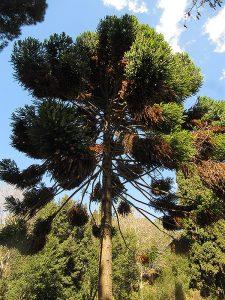 De dalt a baix, el gran roure americà; una de les fonts connectades, i una jardinera amb mates de papir; i l'araucaria australiana. A la imatge destacada, en primer pla, la font més alta de les connectades i, al fons, Can Borni. Fotografies de M.  Josep Tort