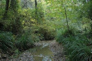 Bosc de ribera a Collserola.