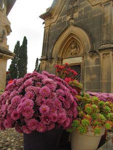 Els crisantems, la flor de Tots Sants. Fotografia de M. Josep Tort