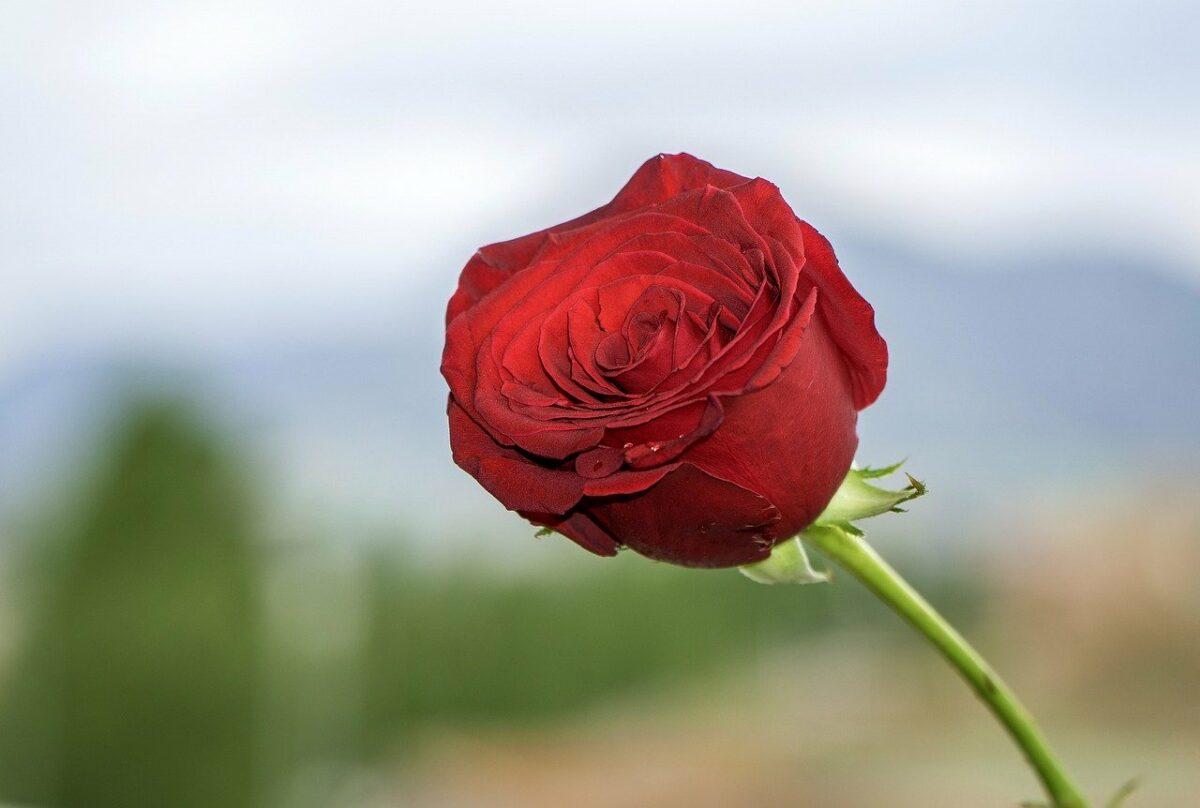 Rosa de Sant Jordi.